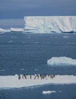 氷上のアデリーペンギンの群れと氷山 南極
