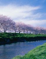 五条川と桜並木  愛知県