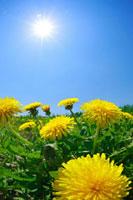 タンポポと草原と太陽
