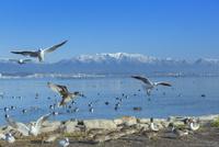 比良山と琵琶湖と水鳥