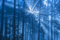 杉林の光芒 01801019041| 写真素材・ストックフォト・画像・イラスト素材|アマナイメージズ