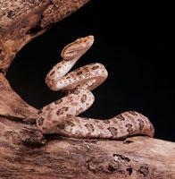 Taiwan Habu Snake 01808019110| 写真素材・ストックフォト・画像・イラスト素材|アマナイメージズ