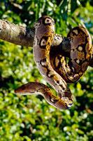 アミメニシキヘビ 01808019719| 写真素材・ストックフォト・画像・イラスト素材|アマナイメージズ