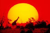 アフリカの夕日とキリンのシルエット