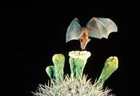 ハナナガサシオコウモリ