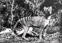 タスマニアオオカミ