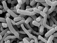 Lactobacillus Acidophilus and L. Casei