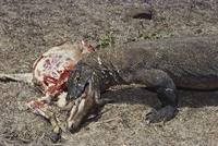 ヤギを補食するコモドオオトカゲ 01808032364| 写真素材・ストックフォト・画像・イラスト素材|アマナイメージズ