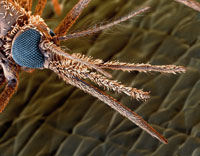 マラリア蚊
