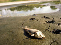 Dead fish due to a drought