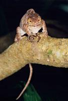 Parson s chameleon (Calumma parsonii) 01809013006| 写真素材・ストックフォト・画像・イラスト素材|アマナイメージズ