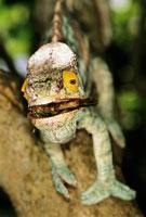 Parson s chameleon feeding