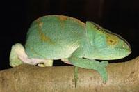 Parson s chameleon (Calumma parsonii) 01809013008| 写真素材・ストックフォト・画像・イラスト素材|アマナイメージズ