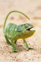 Flap-necked chameleon 01809013226| 写真素材・ストックフォト・画像・イラスト素材|アマナイメージズ