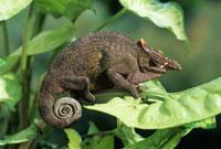 Fischer s chameleon 01809013453| 写真素材・ストックフォト・画像・イラスト素材|アマナイメージズ