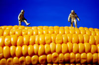 Genetically modified sweetcorn, conceptual image 01809014278  写真素材・ストックフォト・画像・イラスト素材 アマナイメージズ