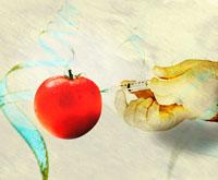 遺伝子組み換えトマト 01809015427  写真素材・ストックフォト・画像・イラスト素材 アマナイメージズ