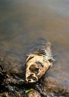 水質汚染で死んだ魚