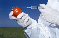 Scientist injecting GM tomato