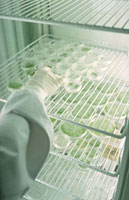 G.M Seedlings in laboratory