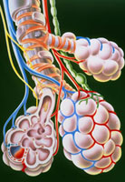 Illustration of lung bronchioles and alveoli