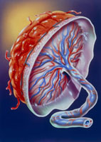 Illustration of the human placenta