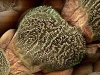 Gecko foot hairs,SEM 01809024228| 写真素材・ストックフォト・画像・イラスト素材|アマナイメージズ