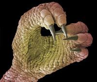 Foot of a chameleon