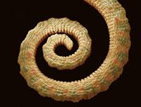 Chameleon's tail,SEM