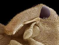Weevil head,SEM 01809024834| 写真素材・ストックフォト・画像・イラスト素材|アマナイメージズ