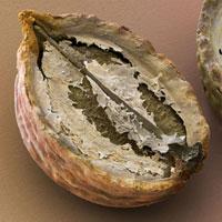 Coriander fruit,SEM
