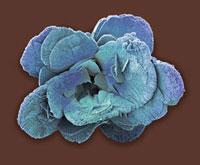 Coccoliths,SEM 01809025366| 写真素材・ストックフォト・画像・イラスト素材|アマナイメージズ