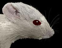 Lab mouse,SEM
