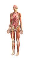 Human female anatomy,artwork 01809025451| 写真素材・ストックフォト・画像・イラスト素材|アマナイメージズ