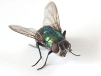 Greenbottle fly