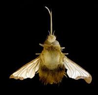 Bee hawk moth,SEM 01809026187| 写真素材・ストックフォト・画像・イラスト素材|アマナイメージズ