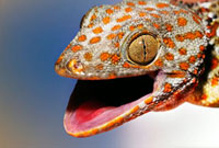 Tokay gecko 01809026248| 写真素材・ストックフォト・画像・イラスト素材|アマナイメージズ
