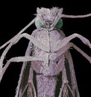 Clothes moth, SEM 01809027526| 写真素材・ストックフォト・画像・イラスト素材|アマナイメージズ