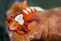 Emperor shrimp and nudibranch