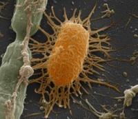 Faecal bacteria, SEM 01809027962  写真素材・ストックフォト・画像・イラスト素材 アマナイメージズ