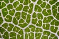 American oak leaf, light micrograph 01809028580  写真素材・ストックフォト・画像・イラスト素材 アマナイメージズ