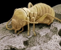 Worker termite, SEM