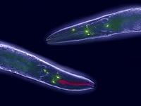 Caenorhabditis elegans 01809028815  写真素材・ストックフォト・画像・イラスト素材 アマナイメージズ
