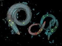 Caenorhabditis elegans and bacteria 01809028816| 写真素材・ストックフォト・画像・イラスト素材|アマナイメージズ