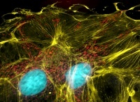 Bovine pulmonary artery epithelium cells 01809028831  写真素材・ストックフォト・画像・イラスト素材 アマナイメージズ