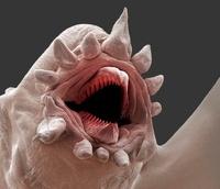 Deep ocean scale worm,SEM 01809028835| 写真素材・ストックフォト・画像・イラスト素材|アマナイメージズ