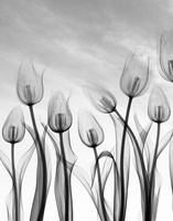 Tulip flowers, X-ray