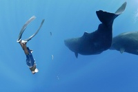 Diver and sperm whales