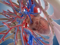 Heart-lung system, artwork