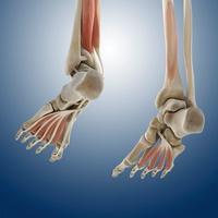 Foot muscles, artwork